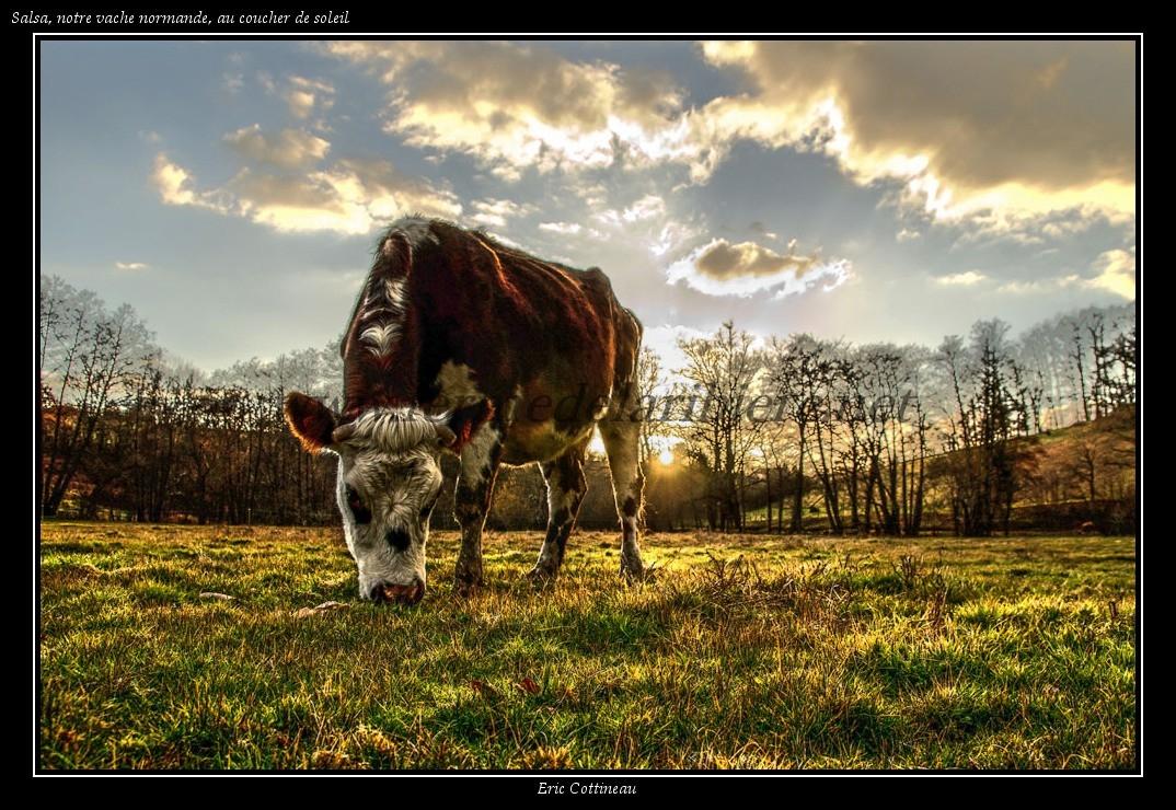 Salsa, notre vache normande, au coucher de soleil