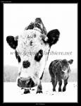 Salsa, notre vache normande et son veau - cris de nos animaux