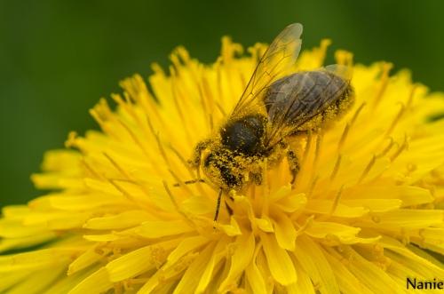 abeille_2137