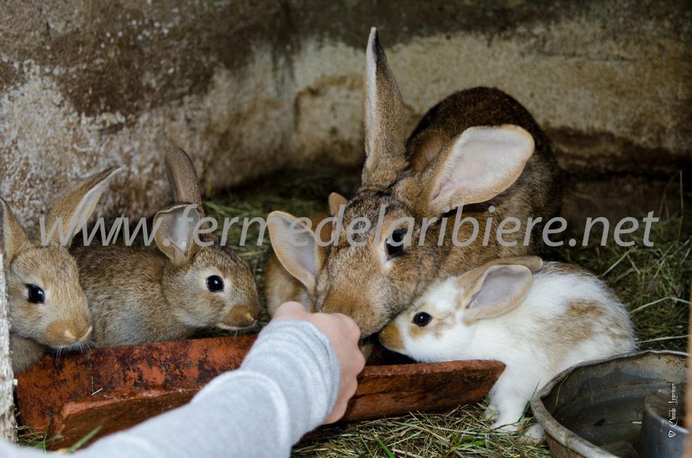 repas-des-lapins