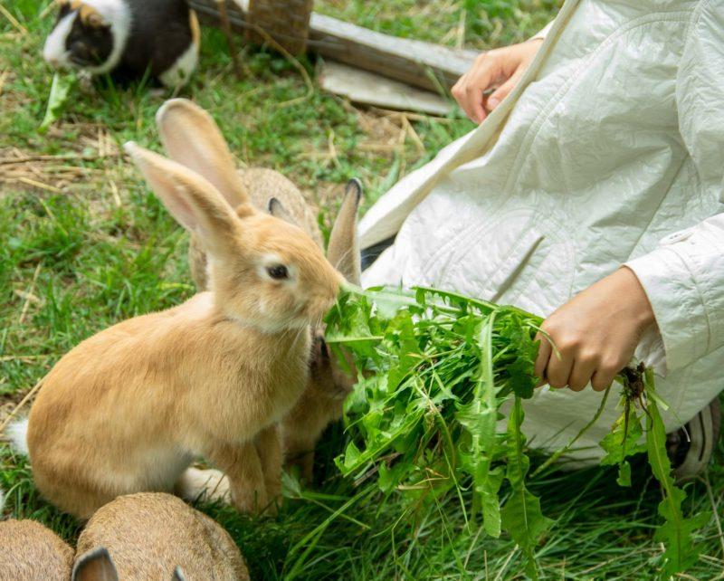 Nourrir les lapins