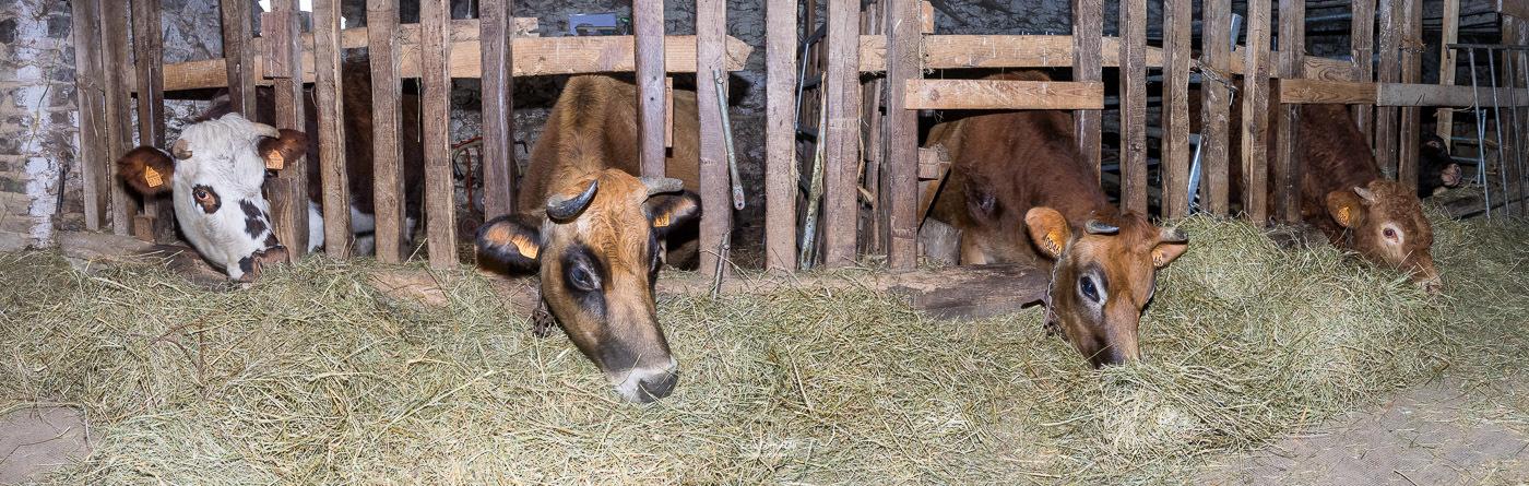 Les vaches à l'étable devant la ration de foin.