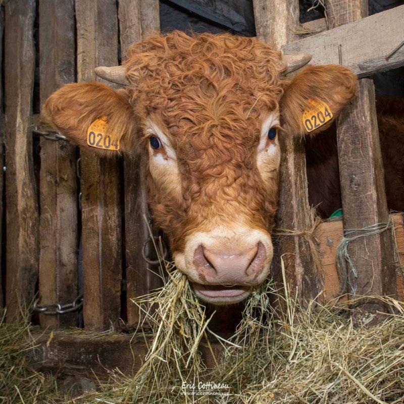 Taurillon Limousin de 12 mois