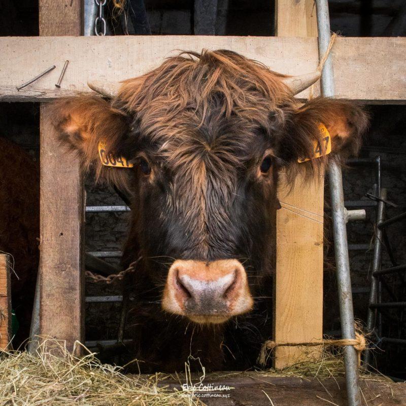 Oscar, veau croisé de 6 mois né à la ferme.