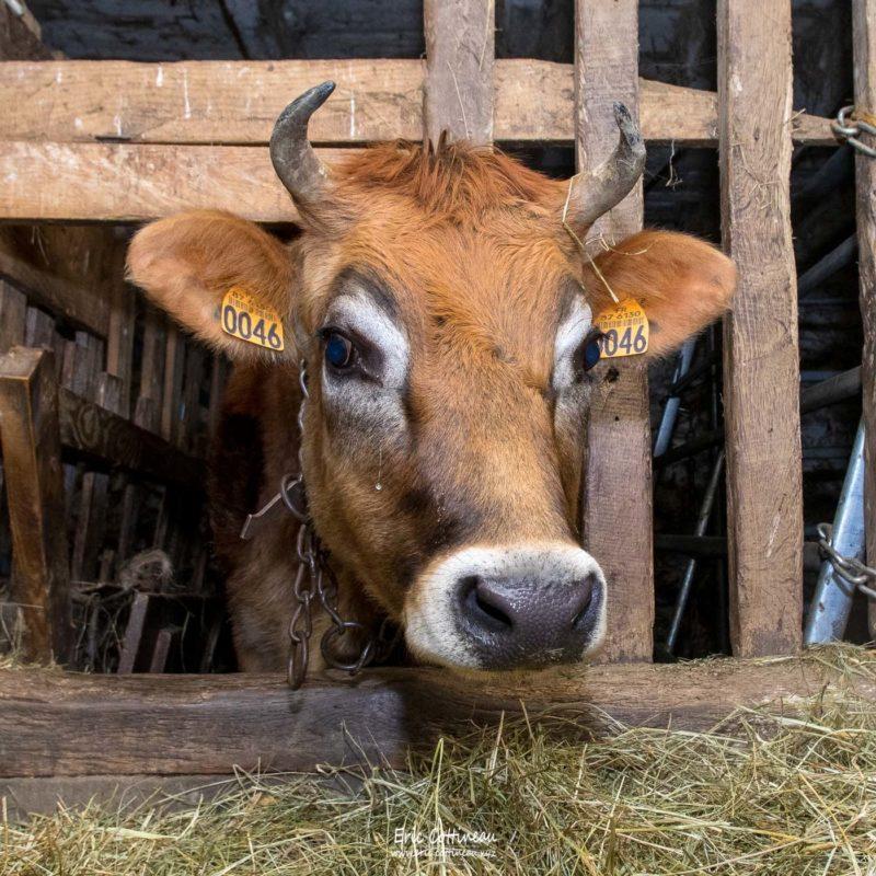 Génisse Jersiaise, née à la ferme.