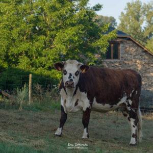 Vache à la ferme pédagogique de la Ribière de Bord